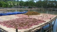 Rumput Laut yang sedang dijemur